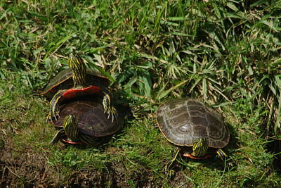 Painted Turtle Wall Art - Photograph - Three Painted Turtles by Jeff Swan