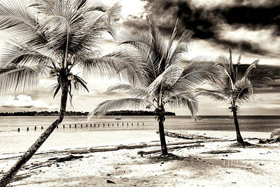 Photograph - Three Palm Trees At Bocas Del Drago by John Rizzuto