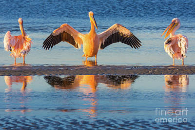 Photograph - Three Pelicans by Inge Johnsson