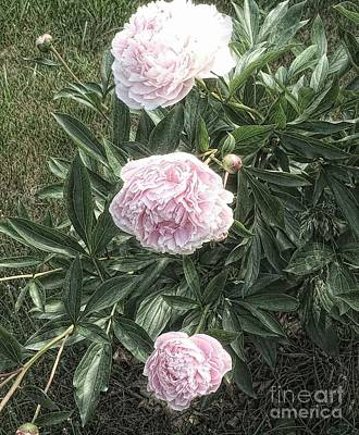 Photograph - Three Peonies by Marcia Lee Jones