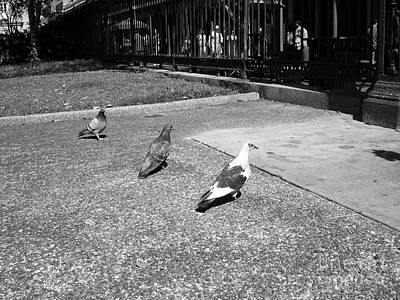 Portrait Photograph - Three Pigeons  by Venus