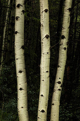 Photograph - Three Pillars Of The Forest by James BO Insogna