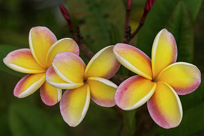 Photograph - Three Pink And Yellow Plumeria Flowers - Hawaii by Brian Harig
