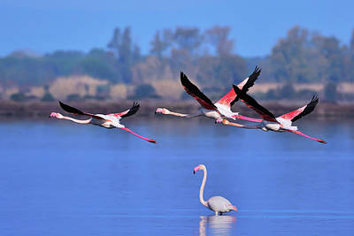 Photograph - Three Pink Flamingos #2 by Edoardo Gobattoni