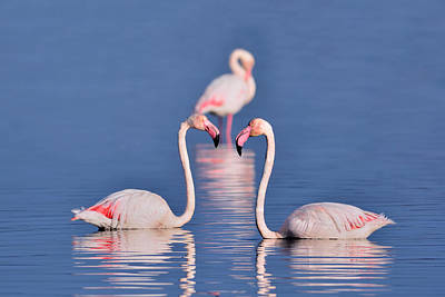 Photograph - Three Pink Flamingos by Edoardo Gobattoni