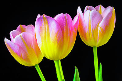Pink Tulip Photograph - Three Pink Yellow Tulips by Garry Gay