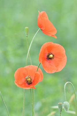 Photograph - Three Poppies One Bee by Alan Lenk