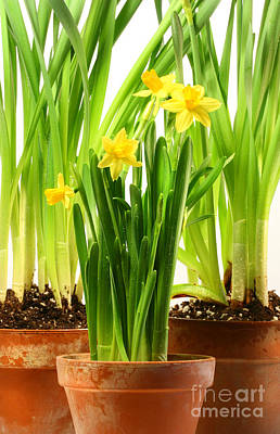 Flowerpots Photograph - Three Pots Of Daffodils On White  by Sandra Cunningham