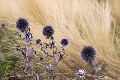 Photograph - Three Purple Echinops by Helga Novelli