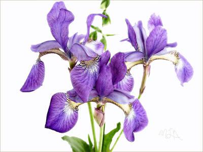 Photograph - Three Purple Japanese Irises by Louise Kumpf