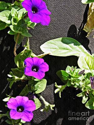 Photograph - Three Purple Petunias by Sarah Loft