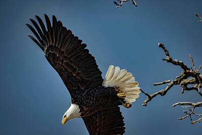 Photograph - Three Quarter Eagle  by Ray Congrove