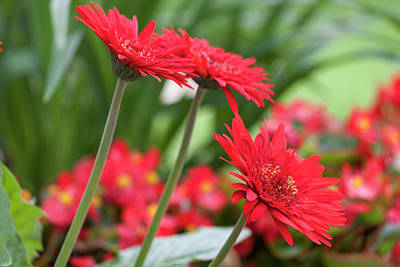 Photograph - Three Red Gerberas II by Suzanne Gaff