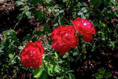 Photograph - Three Red Roses by Gene Parks