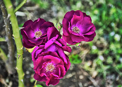 Photograph - Three Roses by Robert Brown
