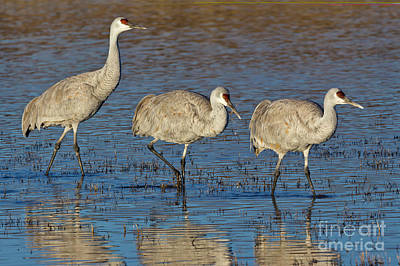 Photograph - Three Sandhill Cranes by Yva Momatiuk John Eastcott