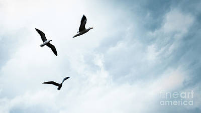 Photograph - Three Seagulls In The Sky by Anna Om
