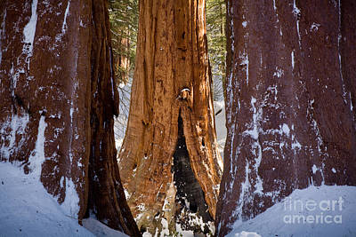 Photograph - Three Sequoias by Susan Cole Kelly