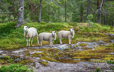 Photograph - Three Sheep Animals In Nature In Norway by Compuinfoto