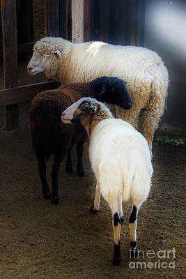 Photograph - Two Sheep And A Goat by Norma Warden