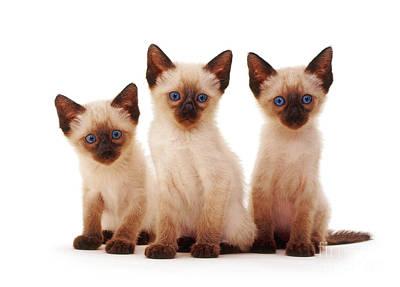 Photograph - Three Siamese Kittens by Jane Burton