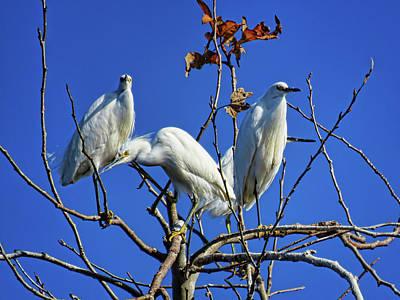 Photograph - Three Snowy Egrets by Helaine Cummins