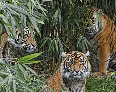 Photograph - Three Sumatran Tigers by Wes and Dotty Weber