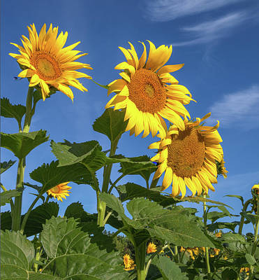 Photograph - Three Sunflowers Against The Blue by Lon Dittrick