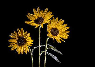 Light Paint Photograph - Three Sunflowers Light Painted On Black by Vishwanath Bhat
