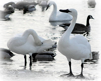 Photograph - Three Swans A Swimming by Kathy M Krause