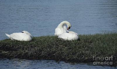 Photograph - Three Swans Napping by Margie Avellino