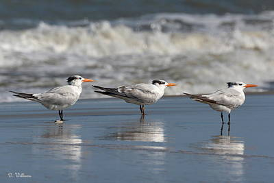 Photograph - Three Terns by Dan Williams