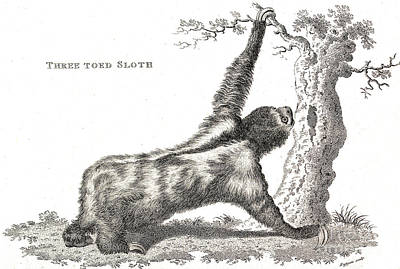 Three-toed Sloth, Historical Etching Art Print by Wellcome Images