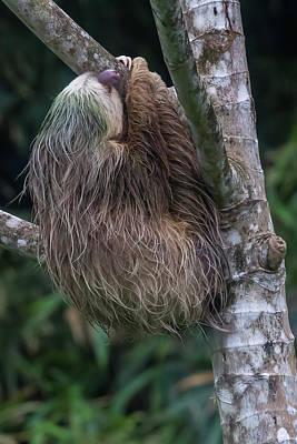 Photograph - Three Toed Sloth by John Haldane