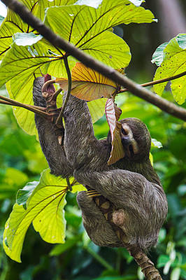 Three-toed Sloth, Sarapiqui, Costa Rica Art Print by Panoramic Images