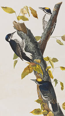 Woodpecker Painting - Three Toed Woodpecker by John James Audubon