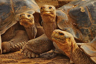 Darwin Research Center Photograph - Three Tortoises by Tom Cheatham
