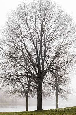 Photograph - Three Trees In Fog by Tamara Becker