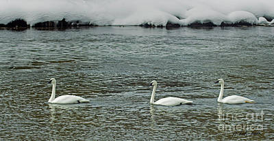 Photograph - Three Trumpeter Swans-signed-#1076 by J L Woody Wooden