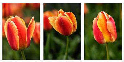 Photograph - Three Tulips Collage by Vishwanath Bhat