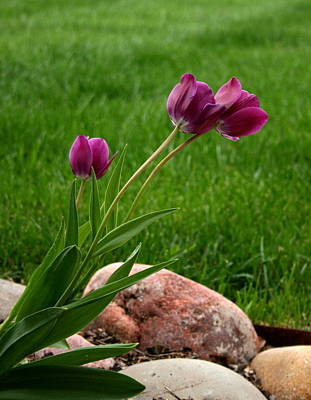 Photograph - Three Tulips by David Dunham