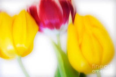 Icm Photograph - Three Tulips by Janet Burdon