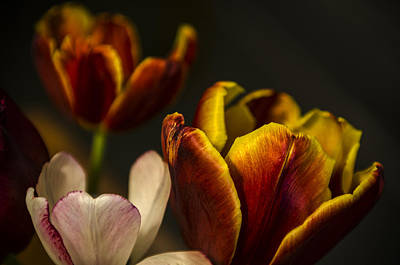 Photograph - Three Tulips by Valerie Rosen