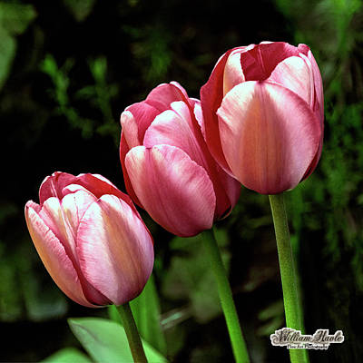 Photograph - Three Tulips by William Havle