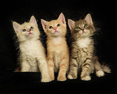 Photograph - Three Wee Kittens by Janis Knight