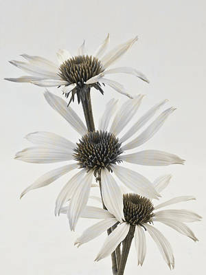 Three White Coneflowers Art Print by Sandra Foster
