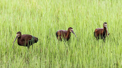 Photograph - Three White-faced Ibis by Belinda Greb