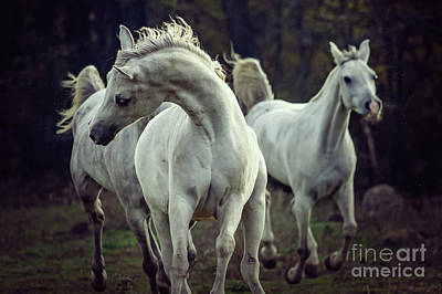 Photograph - Three White Horses Running Stallions by Dimitar Hristov