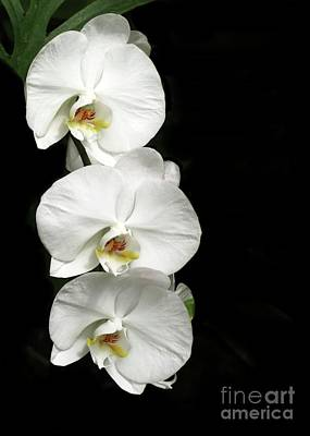Photograph - Three White Orchids by Sabrina L Ryan