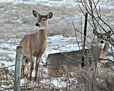 Photograph - Three White-tailed Deer Watch by Kathy M Krause